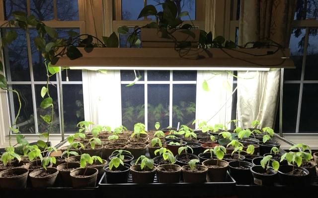 tithonia seedlings